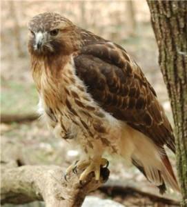 RedtailHawk